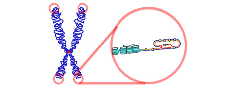 Теломеры на концах хромосом. Эти участки ДНК защищают генетическую информацию клетки, но при каждом её делении не воспроизводятся полностью (иллюстрация с сайта wikimedia.org).