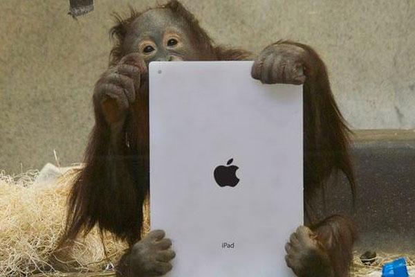 У орангутана, лучше всех освоившего iPad, нашли раковую опухоль