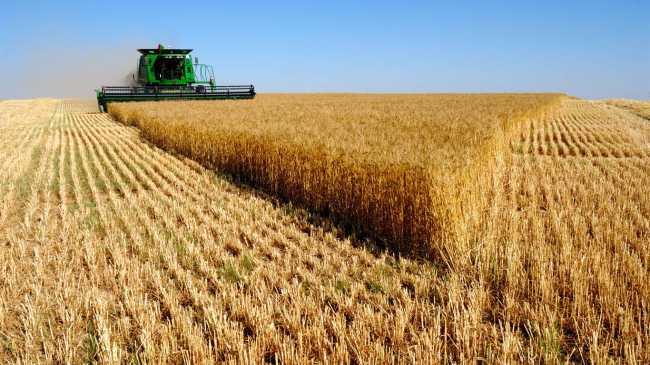 Современная пшеница травит людей и вызывает болезни