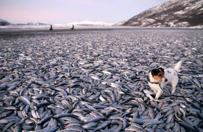Сельди выбросило на берег норвегии