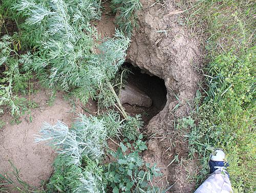 Под Новосибирском неизвестный зверь убил двух коз