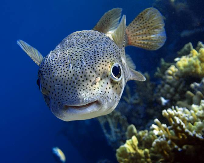 Ядовитых тропических рыб внезапно выловили в Черном море (2 фото)
