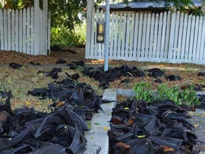 В Австралии массовый мор летучих лисиц (крыланов) (5 фото)