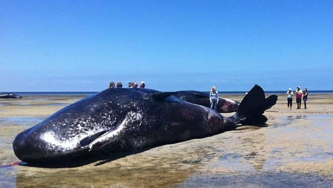 Семь кашалотов выбросилось на берег в Австралии