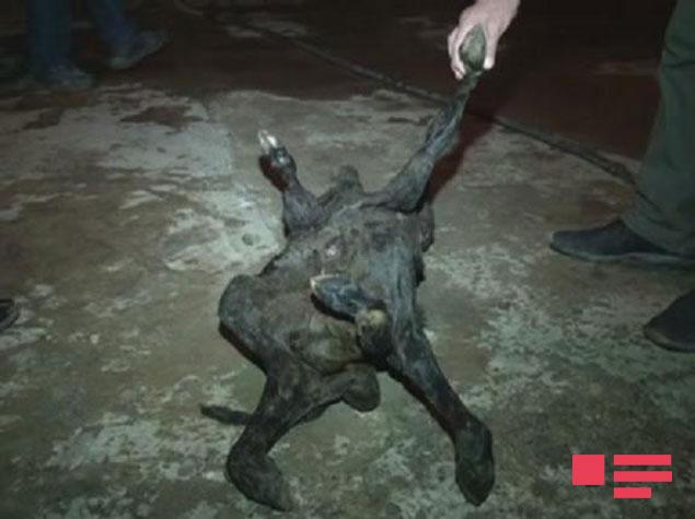 В Азербайджане родился двухголовый теленок без признаков пола (4 фото)