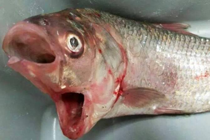 В Австралии поймали рыбу-мутанта с двумя ртами (2 фото + видео)