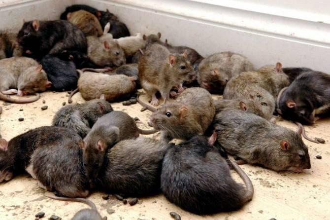 Наши предки не обезьяны, а...крысы? (2 фото)