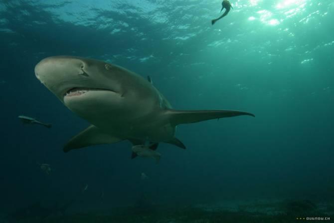 Загадка пресноводных акул (5 фото)