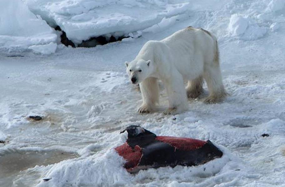 Polar bear eating beluga whale