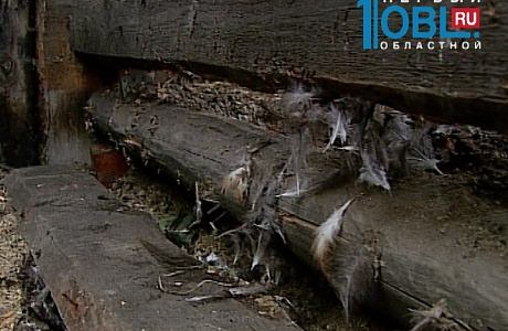 В Челябинской области зафиксировано нападение на кур неизвестного зверя