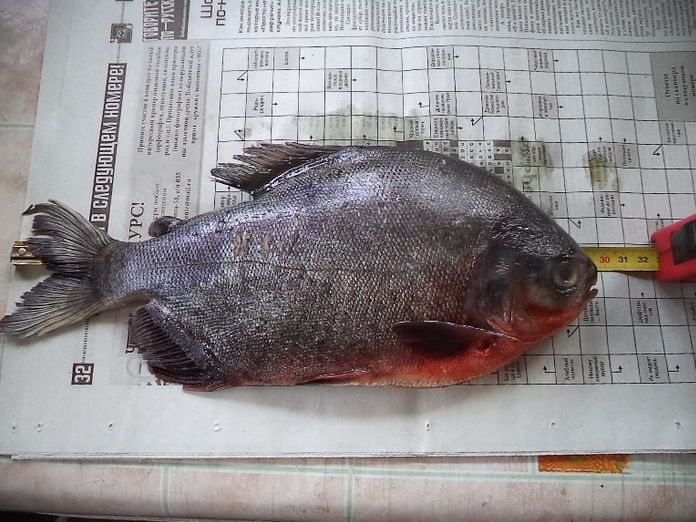 В Иван-озере под Читой выловили очередную пиранью (3 фото)