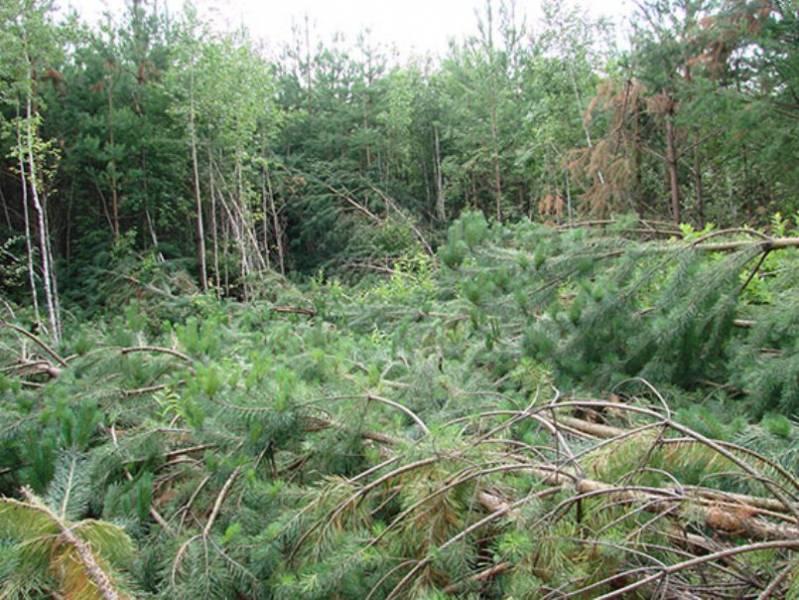 Странный вывал леса в Челябинской области (Видео)