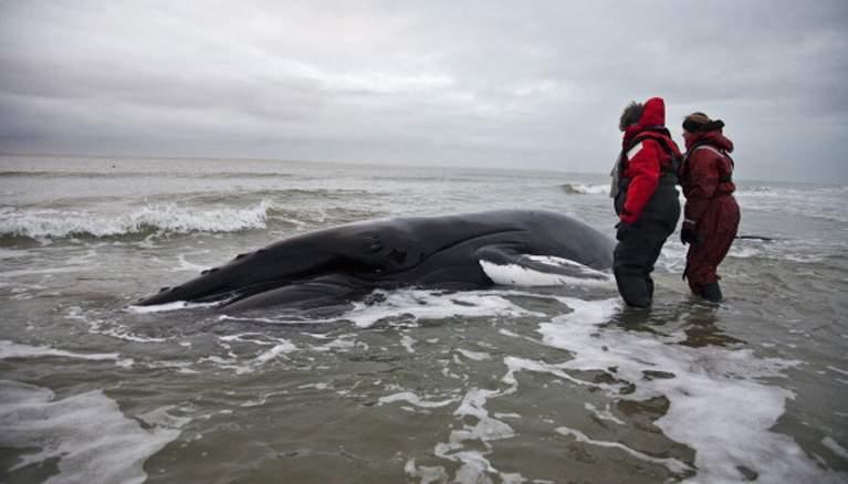 США расследуют массовую гибель китов вдоль берегов Аляски (6 фото)