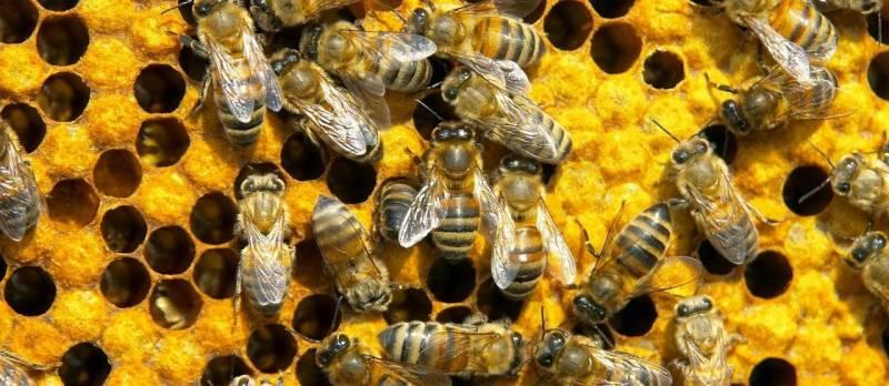 Причина массовой гибели пчел в мире это современные пестициды?