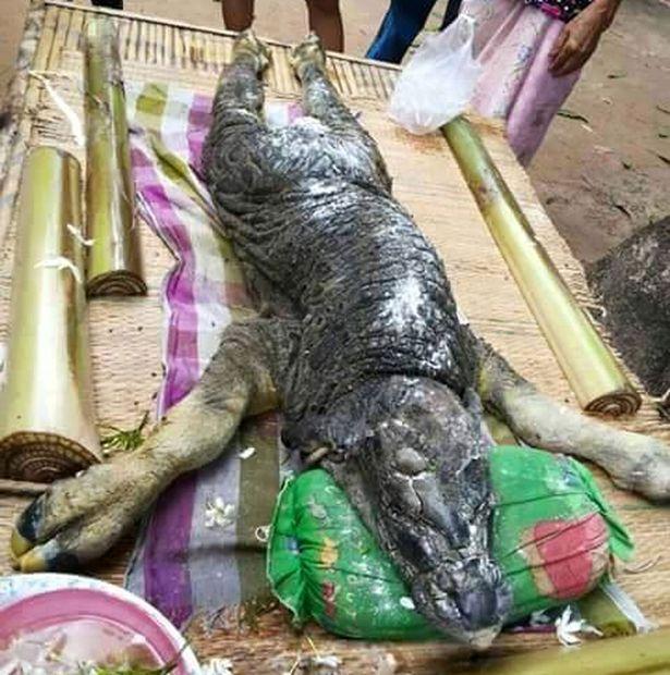"В Таиланде родился ""гибрид крокодила и буйвола"" (4 фото + видео)"