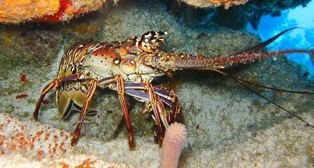 Ученые выяснили, что омары практически бессмертные
