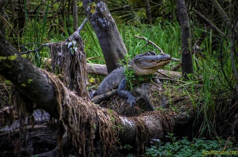 Проклятие вуду, оборотень и бигфут в болотах Луизианы (4 фото)