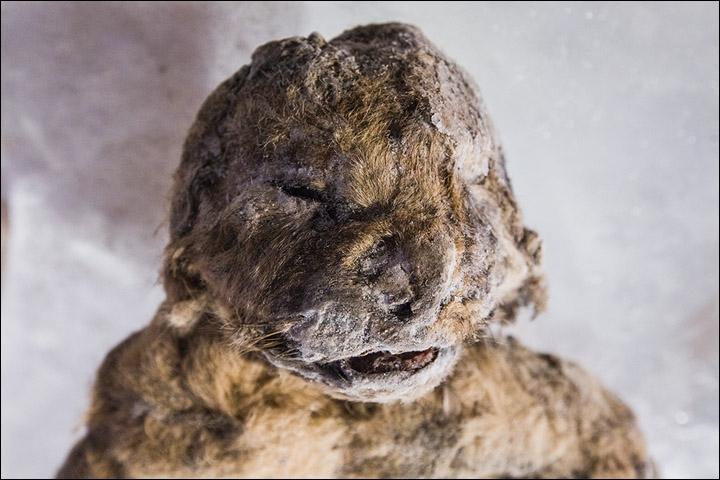 Ученые из Якутии решили клонировать пещерных львов (5 фото)