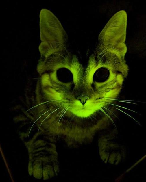 Генетически модифицированные домашние животные (8 фото)