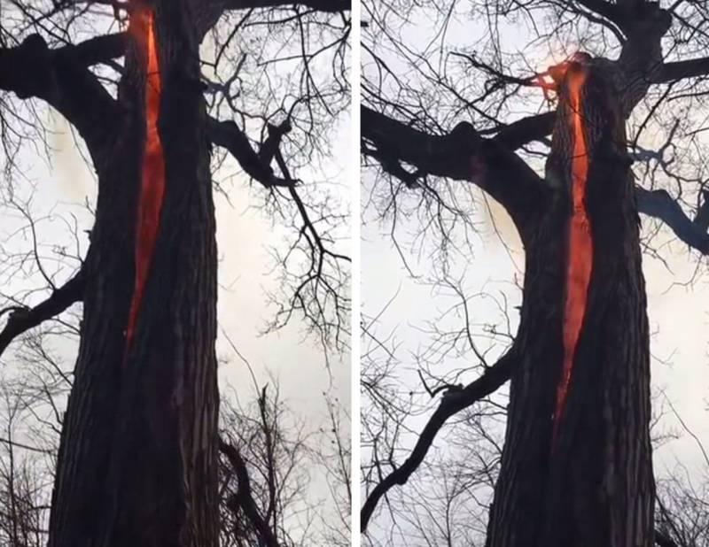 В сеть выложили видео с небычным деревом горящим изнутри