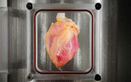 В США выращено сердце из клеток кожи человека