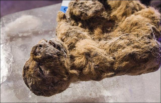 В Якутии сделан первый шаг к клонированию пещерных львов