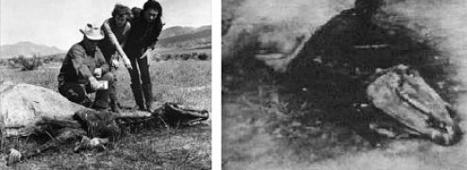 Кто изувечил кобылу Леди? (4 фото)
