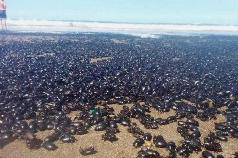 Миллионы жуков наводнили пляж в Аргентине (+Видео)