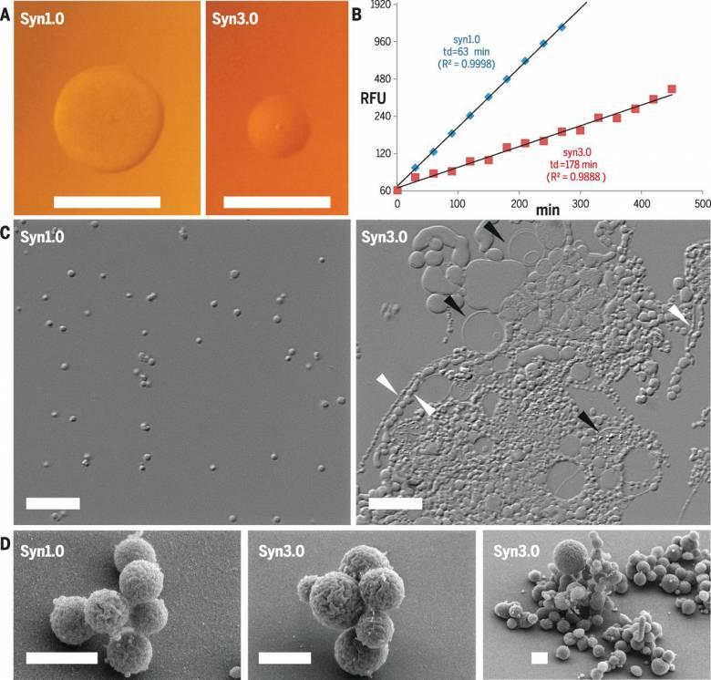 Монстр из пробирки: Достигнут прогресс в создании синтетической формы жизни (4 фото)