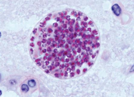 """Ученые изучили как кошачий """"зомби""""-паразит влияет на человека (2 фото)"""