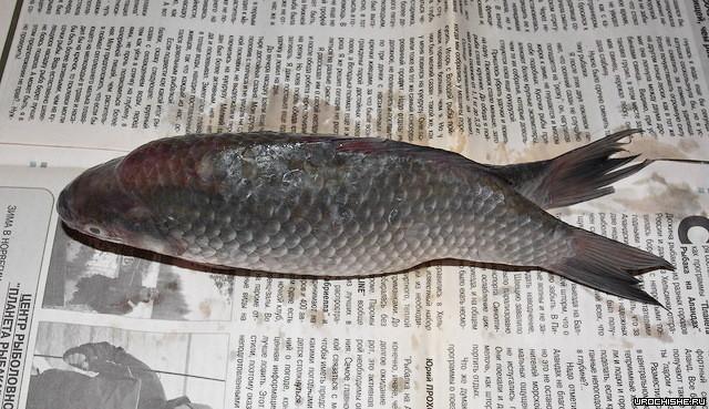 В Первоуральске поймали рыбу-мутанта с двумя хвостами (3 фото)