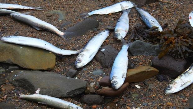 Ученые не могут понять, что вызывает массовую гибель морских животных в Канаде (2 фото)
