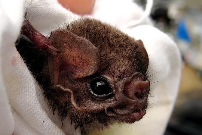 Бразильские летучие мыши-вампиры стали нападать на людей
