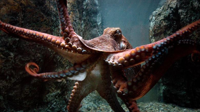 Осьминоги - инопланетяне? Геном осьминогов оказался намного сложнее человеческого