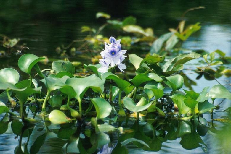 История водяного гиацинта или как человеческая ошибка нарушила биологический баланс  (6 фото)