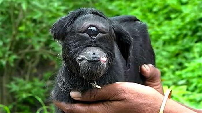 В Индии козла-мутанта с одним глазом, как у циклопа, считают божеством (2 фото + видео)