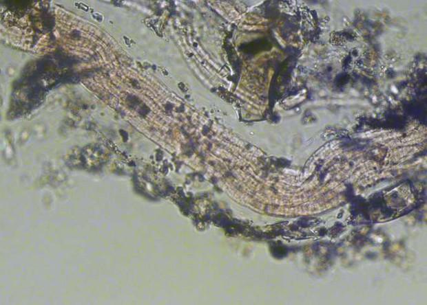 На месте извержения подводного вулкана обнаружили новые «волосатые» бактерии