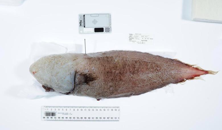 Поймана рыба, считавшаяся давно вымершей