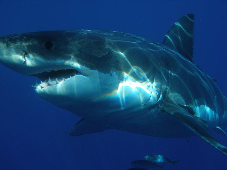 Из-за глобального потепления белые акулы и другие теплолюбивые виды заплывают в северные моря (2 фото)