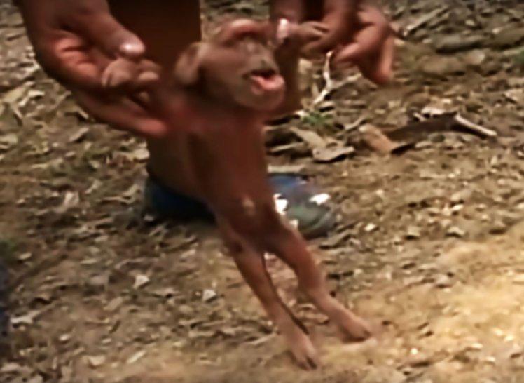 На Кубе родился поросенок, похожий на обезьяну (3 фото + видео )