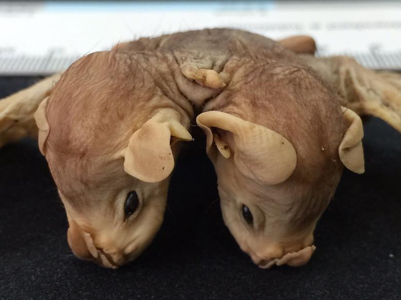Опубликованы фото двухголовой летучей мыши (5 фото)