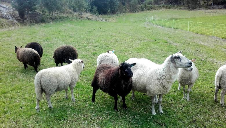 Плохой год для овец: Таинственная резня в Новой Зеландии, неизвестный хищник в Индии и бесследные исчезновения в Норвегии (3 фото)