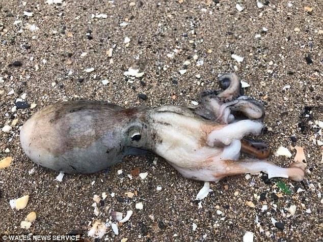 В графстве Уэльс на берег по непонятной причине выползли десятки осьминогов