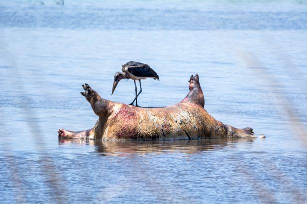 Сто бегемотов найдены мертвыми в реке Намибии (5 фото)