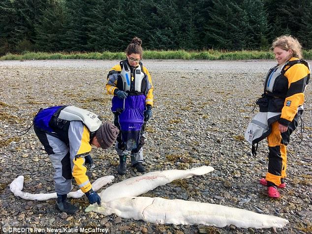 На берег Аляски выбросило останки пока неопознанного живого существа (5 фото)