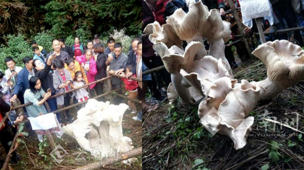 В Китае нашли огромный царь-гриб