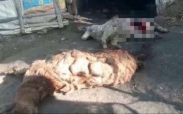 Новые случаи загадочного увечья овец отмечены в Индии