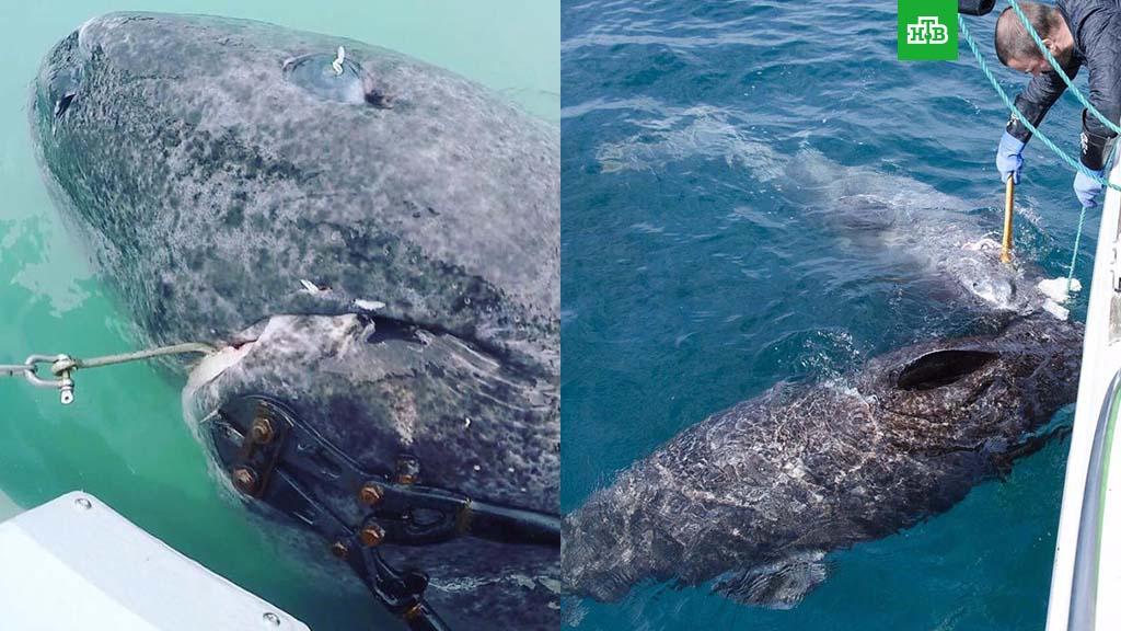 Экологи обнаружили 512-летнюю акулу