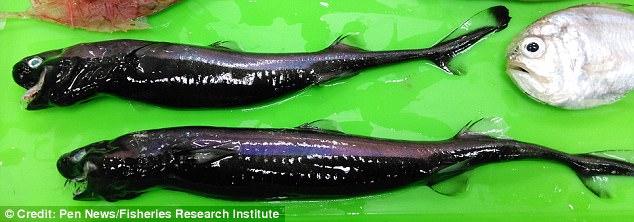"У берегов Тайваня рыбаки выловили акул с зубами как у ""Чужого"""