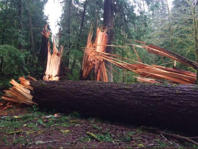 В штате Вашингтон загадочная сила повалила свыше ста крепких деревьев в парке (2 фото)